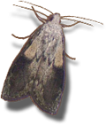Bee (Wax) Moth