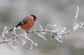 (z) Eurasian Bullfinch on frost-covered hawthorn twig, Leicestershire, England