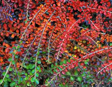 (z) Fall-colored leaves of cotoneaster plant