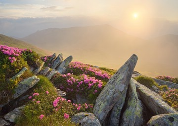 (z) blooming rhododendrons at sunrise in the Carpathian Mountains, Ukraine